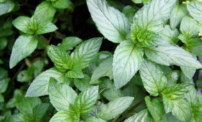 10 Growing Tips & Uses For Chocolate Mint – Organic Authority – Raw Vegan Recipes Dinner