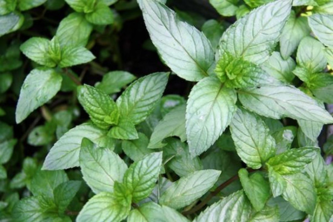 10 Growing Tips & Uses For Chocolate Mint - Organic Authority - raw vegan recipes dinner