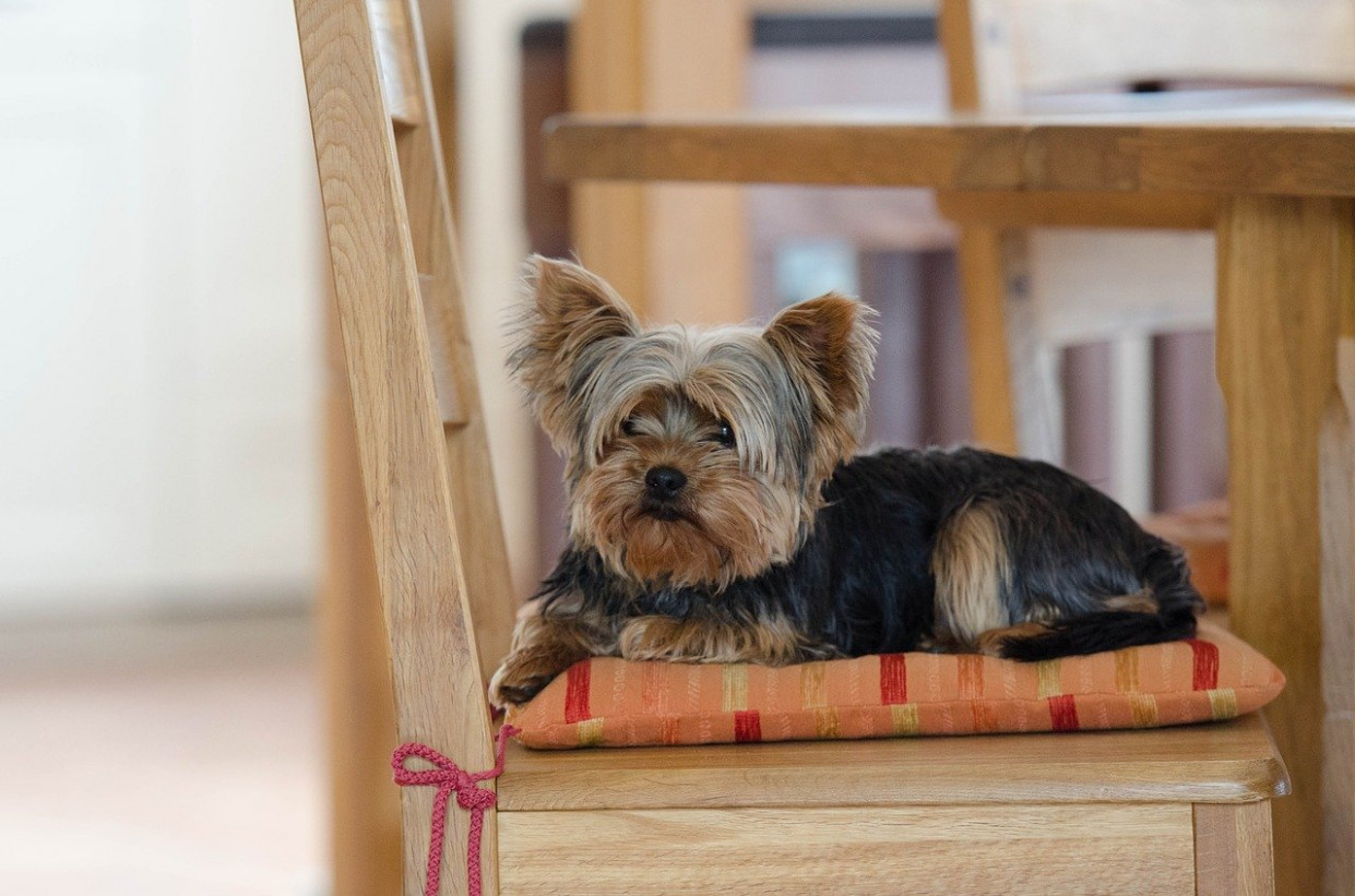 Best Dog Food for Yorkies (13 Review) – TreehousePuppies - yorkie food recipes