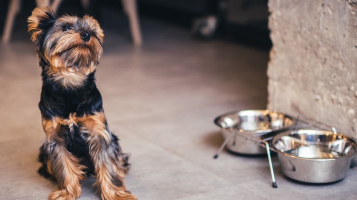 How to Keep Your Yorkshire Terrier Fit - yorkie food recipes