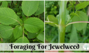 Jewelweed  Nature's Relief For Poison Ivy – Chicken Recipes Reddit