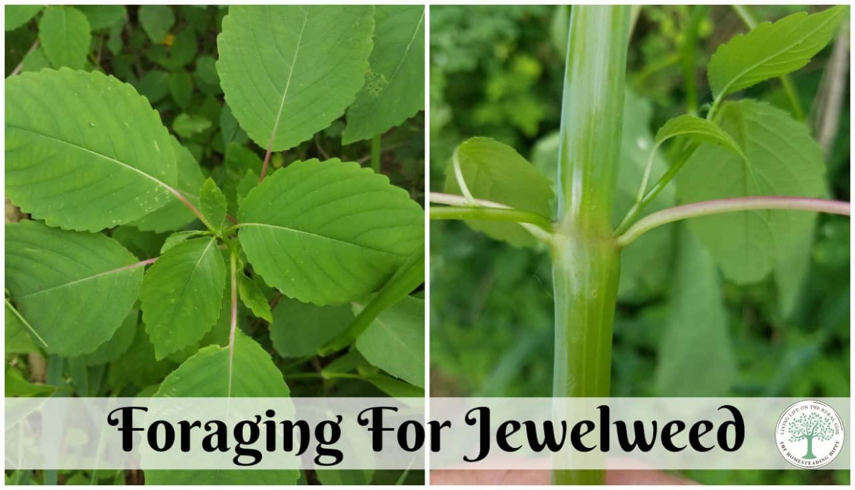 Jewelweed  Nature's Relief For Poison Ivy - Chicken Recipes Reddit