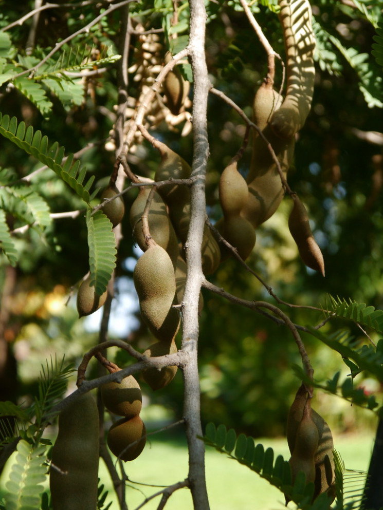 Mexican tamarind at the rancho in the State of Nayarit, Mexico - chicken recipes tamil