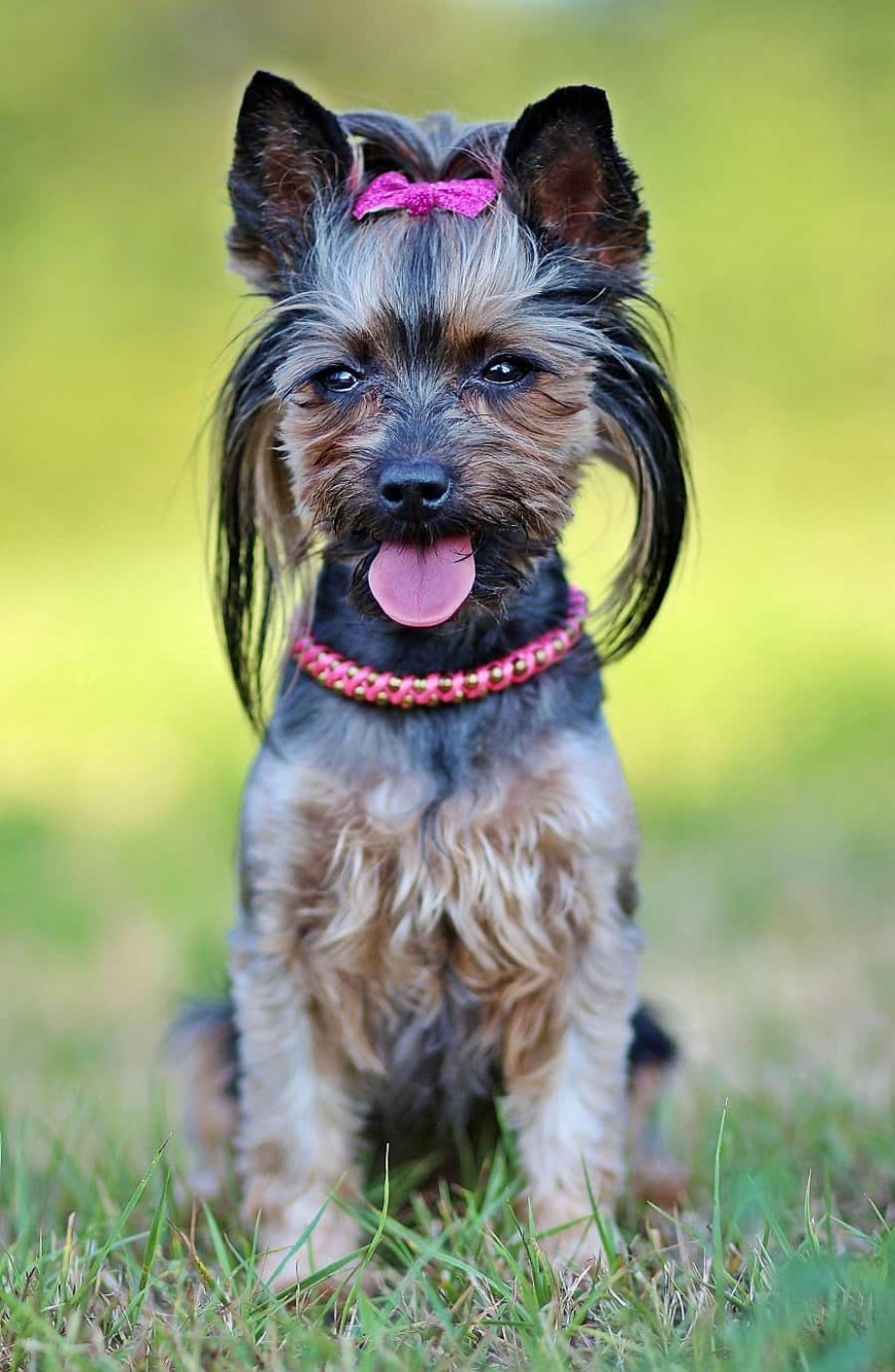 What Is The Best Dog Food For Yorkies (Update 13) - yorkie food recipes